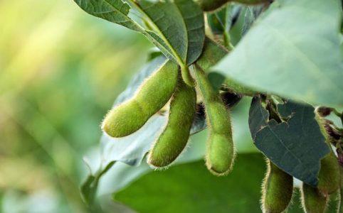 大豆と枝豆は同じ植物なんです