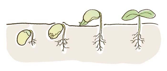 種まき〜発芽のイメージ図