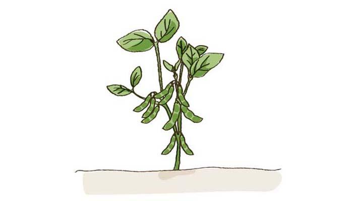 実がついて、枝豆ができます