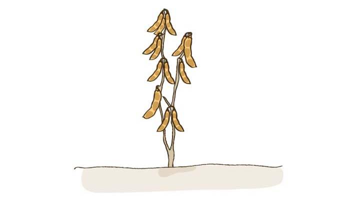 実が黄色くなったら、大豆の収穫です