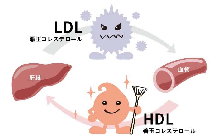 LDLコレステロールとHDLコレステロールの働き